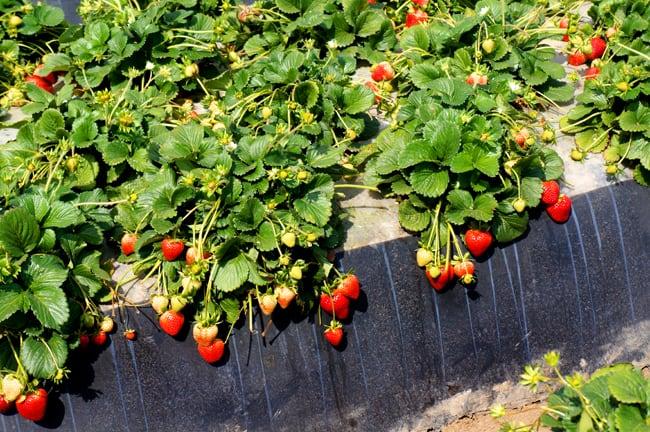 strawberry-field-irrigation