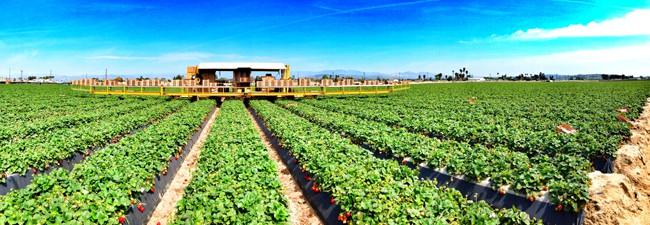 strawberry-field-panorama
