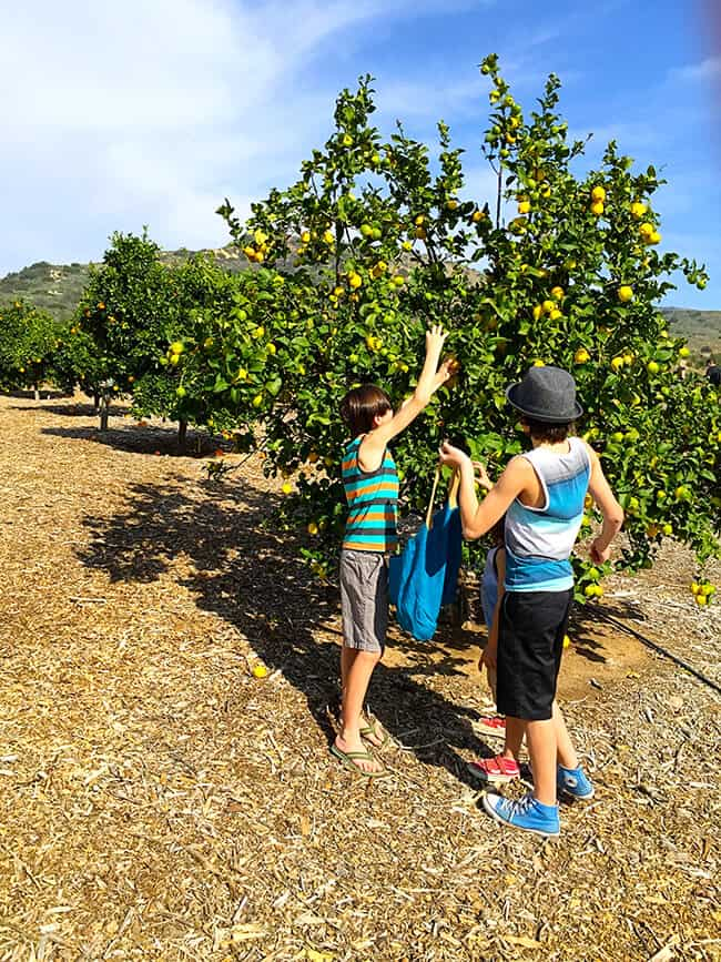 Family Fun Picking Oranges