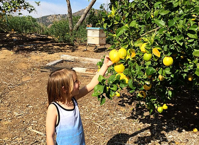 Picking Lemons in Orange County