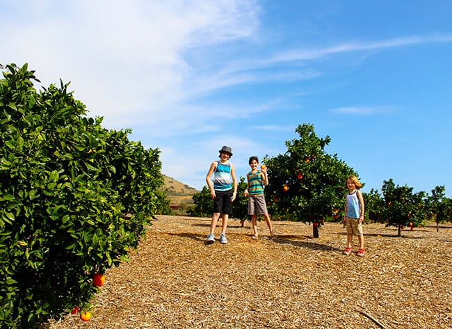 Picking Oranges at Irvine Park