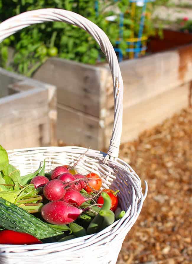 Fresh Vegetables Growing in the Garden