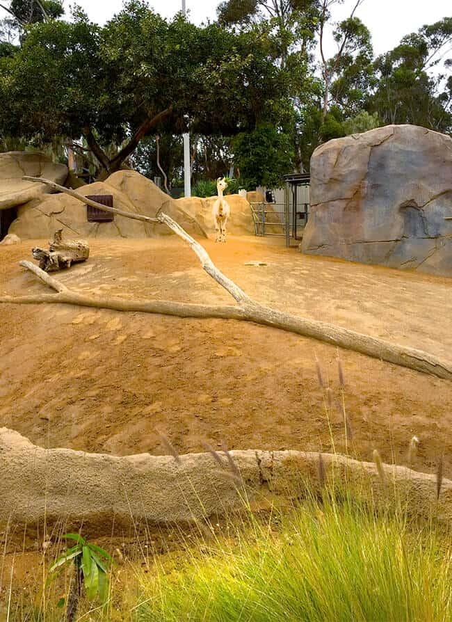 alpaca_san_diego_zoo