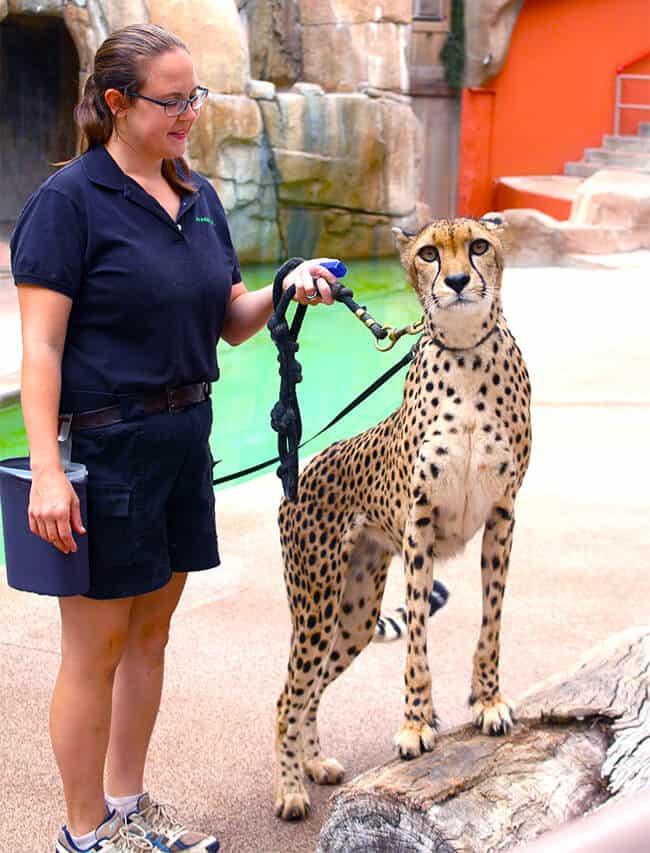 cheetah_san_diego_zoo
