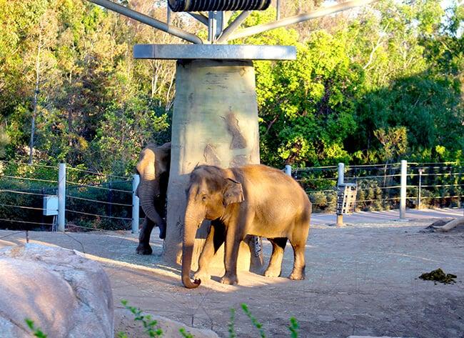 elephant_san_diego_zoo