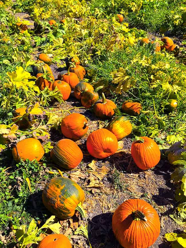 cal-poly-pomona-pumpkins-for-sale
