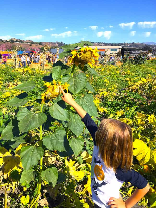 looking-at-a-sunflower-at-the-pomona-pumpkin-patch