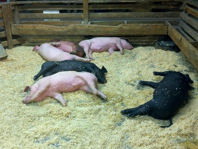 oc-fair-pigs