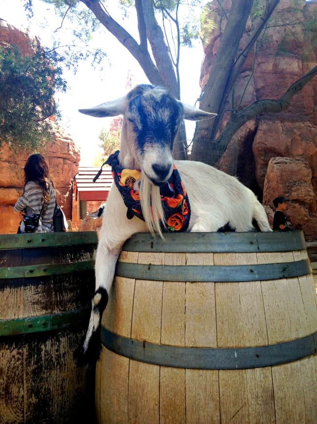 disneyland_halloweentime_petting_zoo