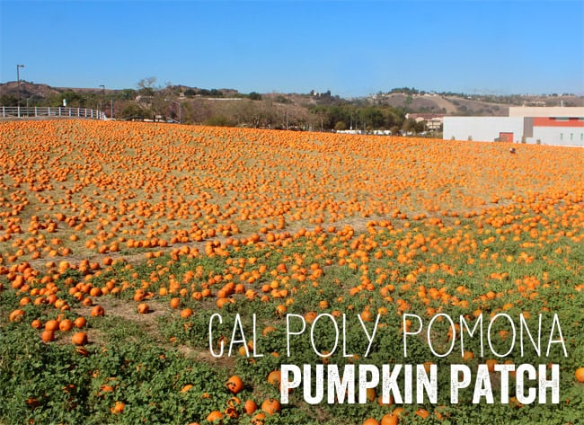cal-poly-pomona-college-pumpkin-patch