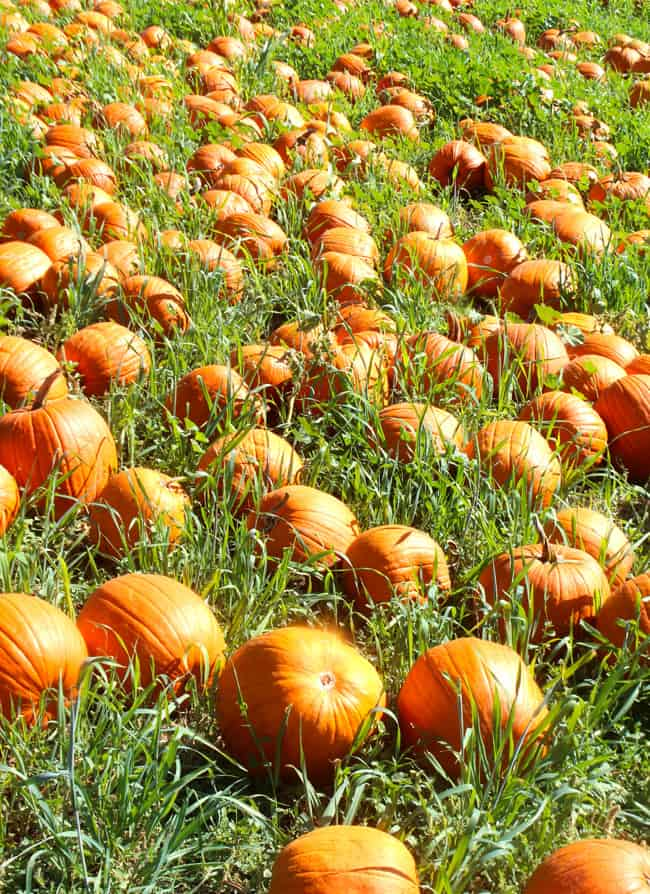 orange-county-pumpkin-patch