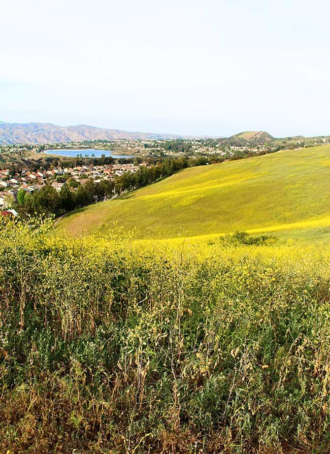 Anaheim Hills California Hiking Trails Mustard Weed