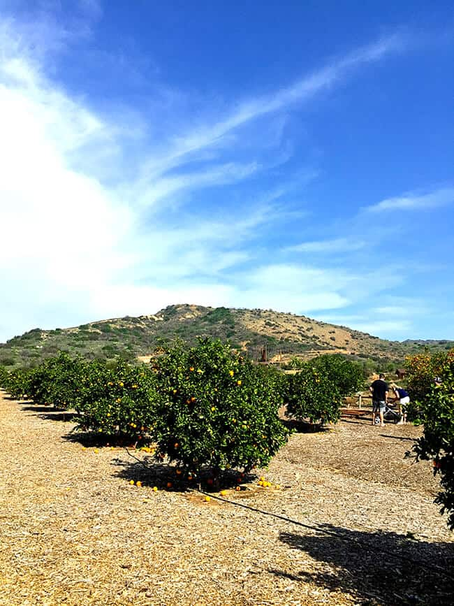 Irvine Ranch Orange Grove