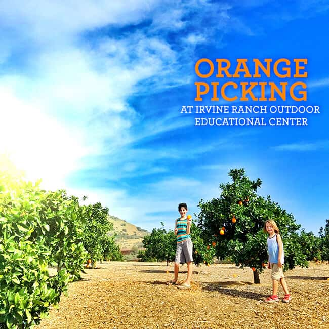 ORange Picking at Irvine Ranch Outdoor Educational Center