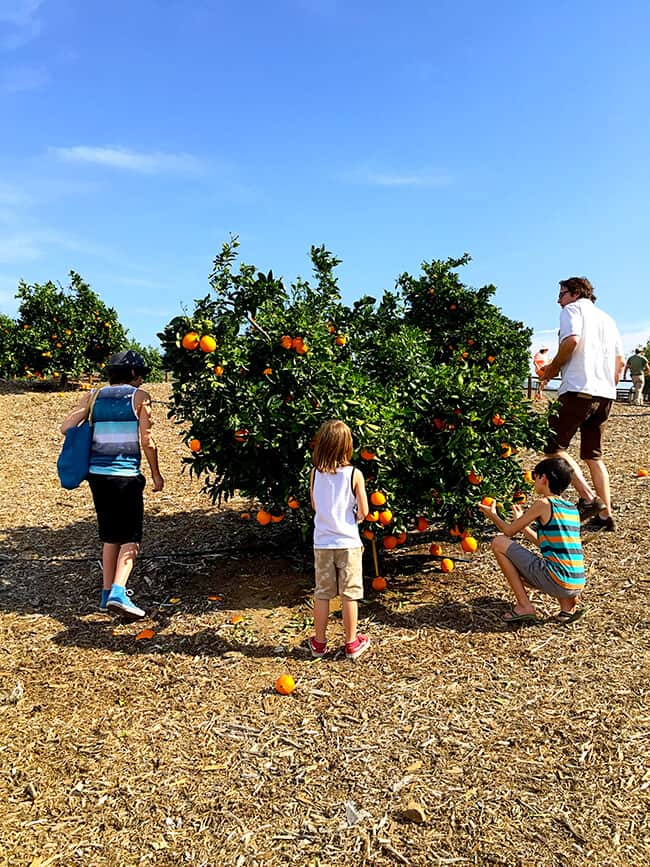 Picking Oranges at Irvine Regional Park