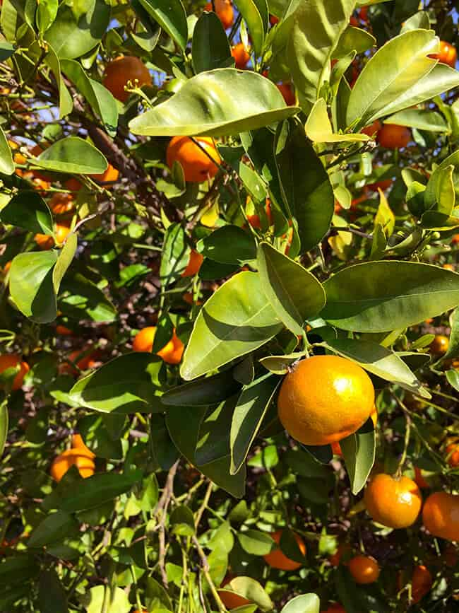 Where to pick Orange in Southern California