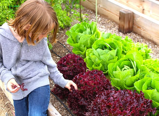 Kids Picking Lettuce in the Garden