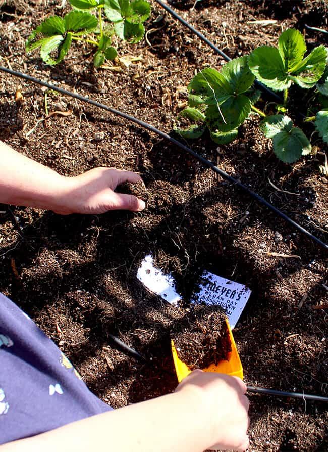 Planting Meyer's Basil Tape