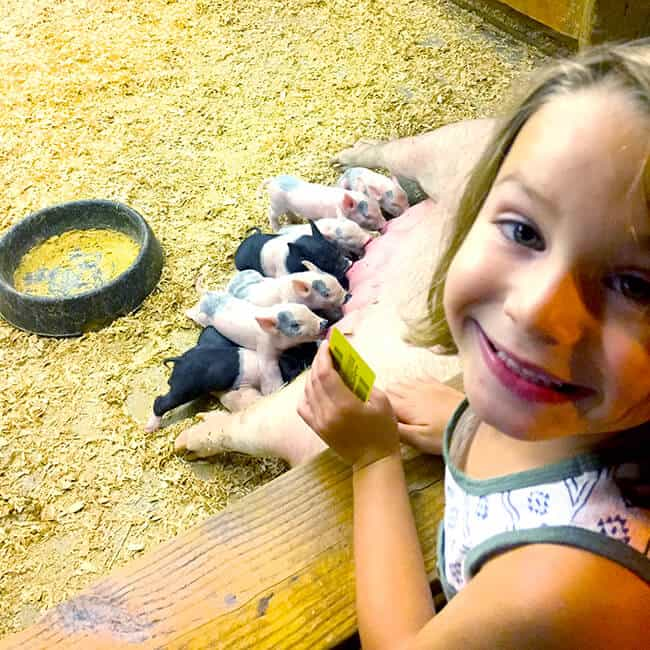 OC Fair Pigs