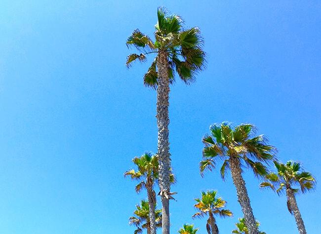 Huntington_beach_palm_trees