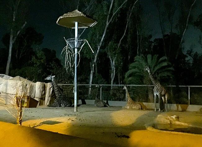 giraffe_san_diego_zoo
