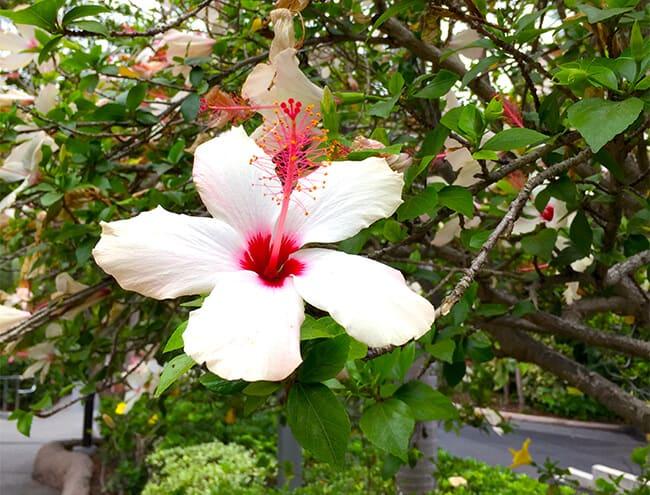 hibiscus_san_diego_zoo