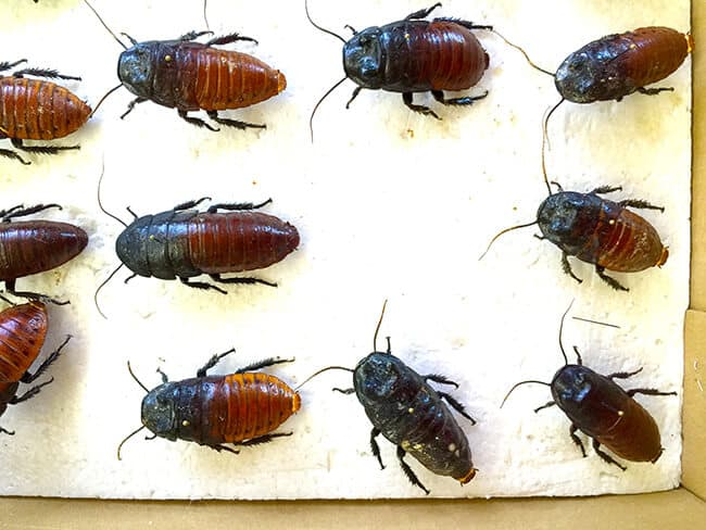 cal-poly-pomona-insect-fair-beetles
