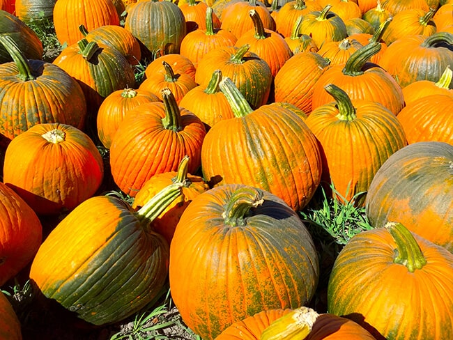 cal-poly-pomona-pumpkins