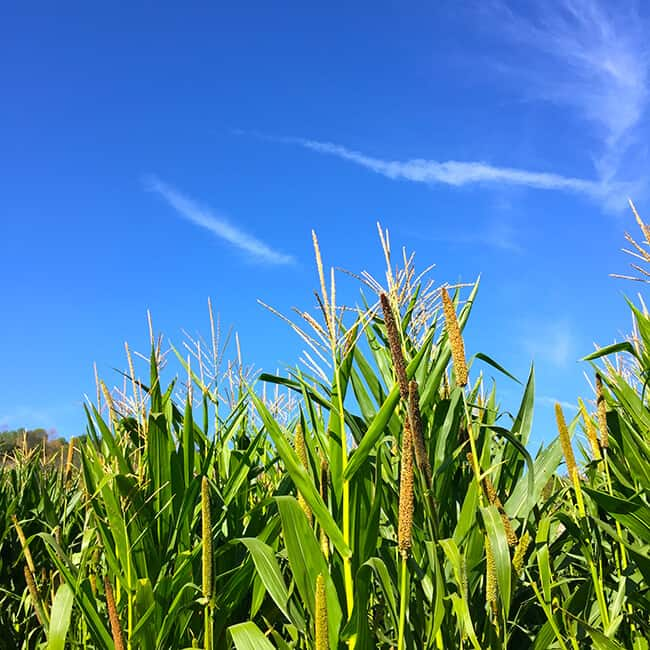 corn-maze-in-southern-california