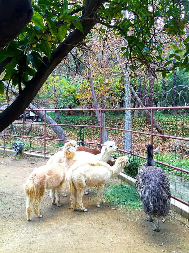 lamas-at-rancho-las-lomas-orange-county