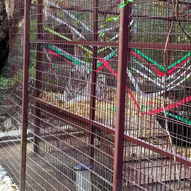 white-tiger-at-rancho-las-lomas-orange-county