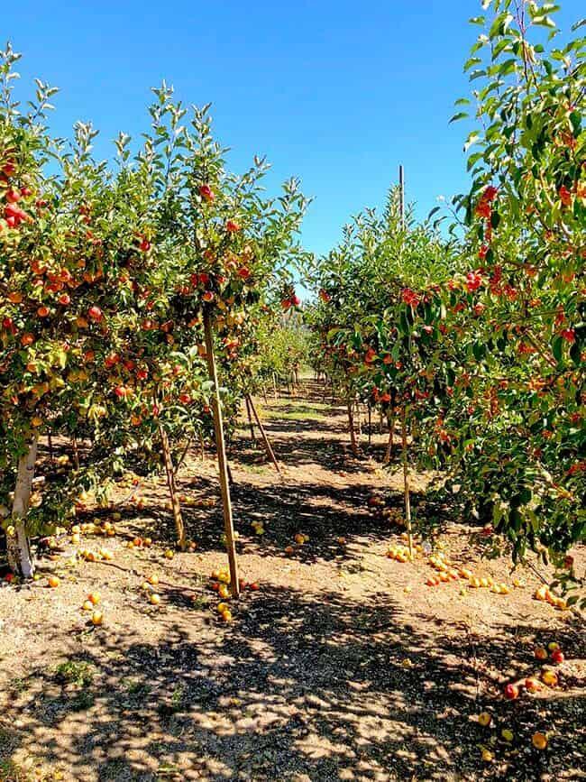 Apple Picking in Oak Glen - Popsicle Blog