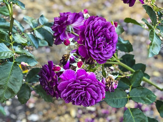 Niguel Botanical Preserve Flowers