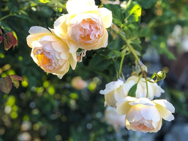 Niguel Botanical Preserve Rose Garden